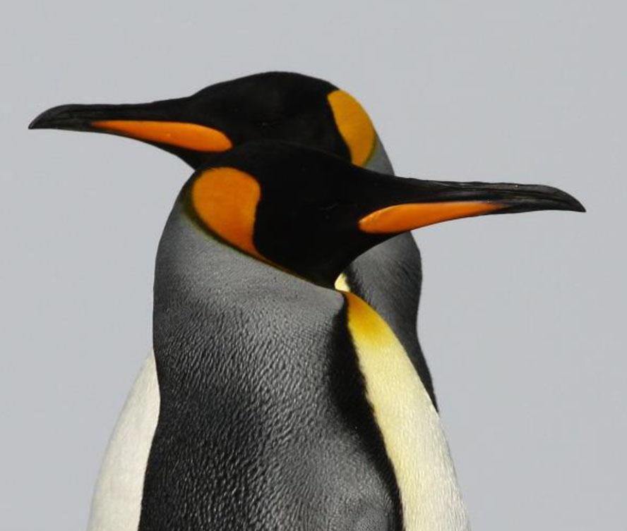 Pinguine, die Lummen der Antarktis – Vortrag
