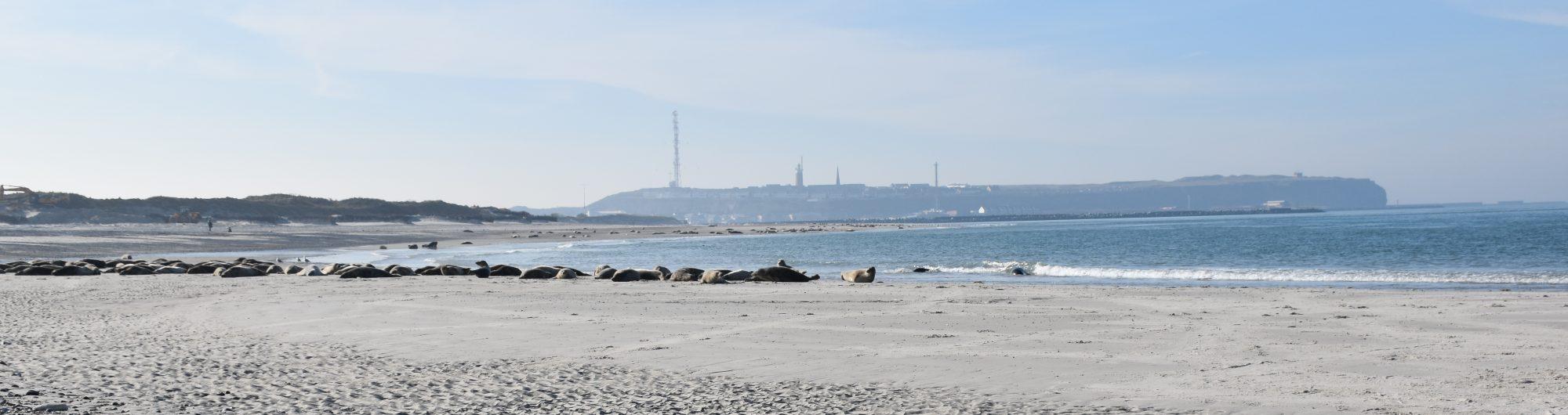 Seehunde und Robben auf Helgoland