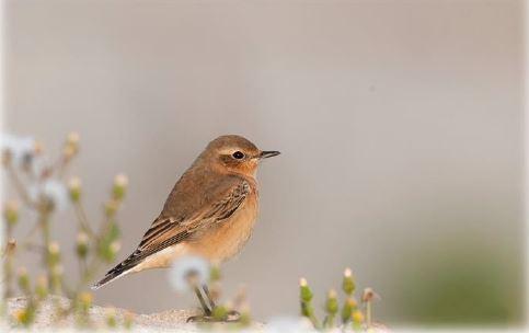 Zugvogelführungen: Helgoland als Magnet für Zugvögel